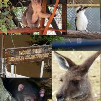 Our visit to the Lone Pine Koala Sanctuary.  Top left: Koala, top right: Kookaburra, bottom left:  Tasmanian Devil, bottom right:  Kangaroo