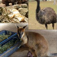 It was a hot day but we enjoyed all the wildlife.  Top left:  Wombat, top right:  Emu, middle:  Dingo, bottom:  Wallaby with her joey