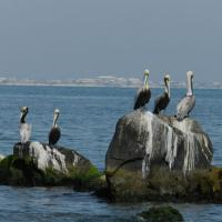 Pelicans on Sand Island