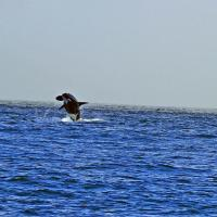 Dave caught this great photo of a breaching Orca. Most of us only captured fins and blows!