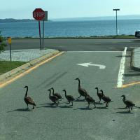 A family of geese stopping traffic