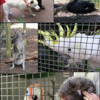 A day at Jirrahlinga Koala & Wildlife Sanctuary in Barwon Heads, Victoria.  Top left:  Dingo, top right:  Black Swan, middle left:  Wallaby & joey, middle right:  Sulphur Crested Cockatoo, bottom left:  Long Billed Corella, bottom right:  Echidna.