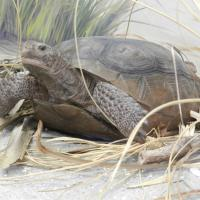 One ofthe many turtles that call Egmont Key home