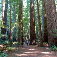 Mary Lee gives some perspectve as to the size of these Redwoods.