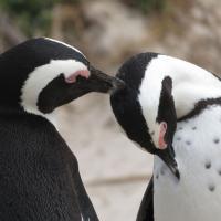 Penguins on Safari