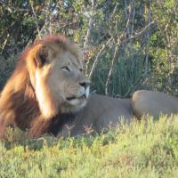 Lion posing for picture