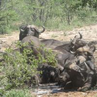 Herd of Water Buffaloes