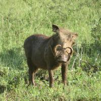 Wart Hog on Safari