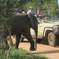 Elephant Crossing in South Africa