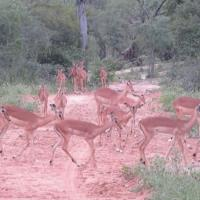 Herd of Antelopes in South Africa
