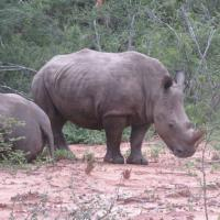 Rhino in South Africa Safari