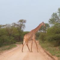 Giraffe Crossing on Safari