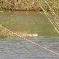 Alligator in the water on Safari