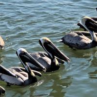 Sand Island Pelicans
