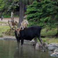 Is it the same moose or another?