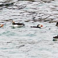 Puffins were also in plentiful supply around Skokholm Island
