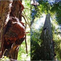 Our side trip was to the Rockefeller Forest, the world's largest stand of old growth redwoods, 10,000 acres!