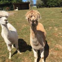 Alpacas on the Farm Tour