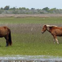 On the way to Cape Lookout we saw the Shackleford Banks Horses.  They provide a glimpse into how horses lived in the wild before their domestication.