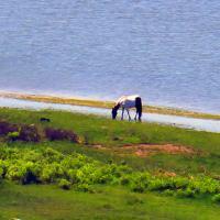 Wild horse at Assateague Beach