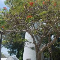 Key West Lighthouse behind the flowering tree