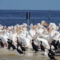 Pelicans on Cedar Key