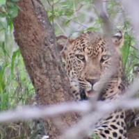 Leopard on South Africa Safari